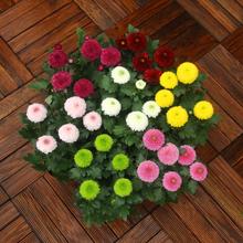 乒乓盆yo 庭院阳台ji栽 重瓣球菊荷兰菊雏带花发