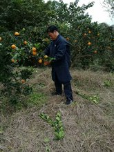 四川农yq自产自销塔vt0斤红橙子新鲜当季水果包邮