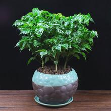幸福树zn栽植物四季zd公室内好养盆景净化空气吸甲醛桌面绿植
