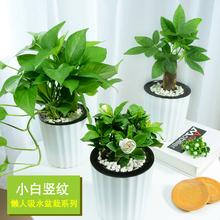 发财树盆栽绿萝zu4子花富贵ai兰长寿花铁海棠办公室内绿植
